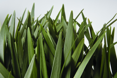 Grass Leaves Close Up Isolated on White Background Stock Photo
