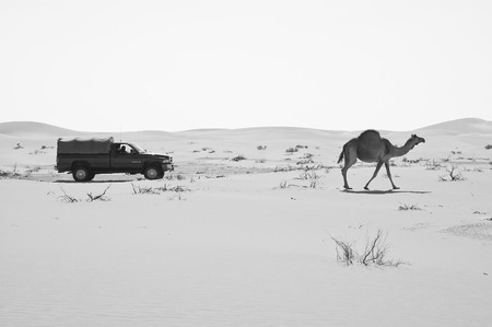 SUV car passing by a camel in the Empty Quarter desert of Arabian Peninsula Stock Photo