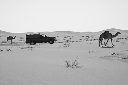 SUV car passing by two camels in the Empty Quarter desert of Arabian Peninsula
