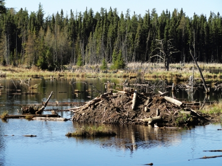 The place a beaver calls home  A lake that was dammed up and a house made of mud and trees for protection against cold winters and predators looking for their next meal  photo