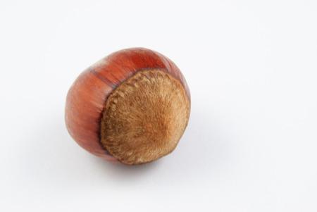 corylus: single hazelnut (Corylus avellana) on white background