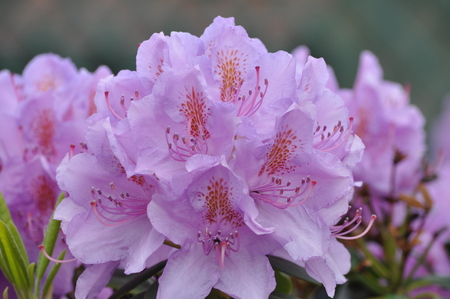 ericaceae: closeup view of pink-colored rhododendron blooms Stock Photo