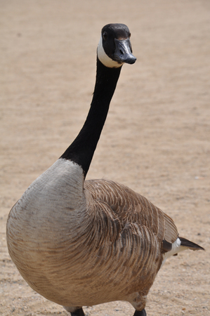canadensis: canada goose - Branta canadensis - looking straight into the camera Stock Photo