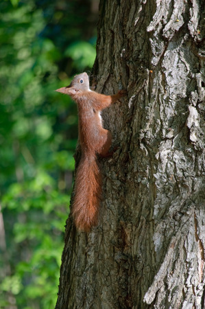 ridged: squirrel on a tree Stock Photo