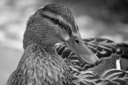 blackandwhite: female duck looking straight into the camera (black-and-white photo) Stock Photo