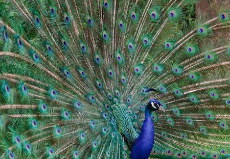 pavo cristatus: blue peacock (Pavo cristatus) - looking straight into the camera Stock Photo