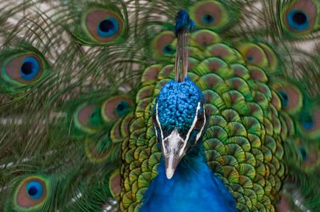 pavo cristatus: blue peacock (Pavo cristatus) Stock Photo