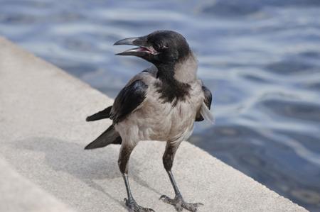 dun: exhausted dun crow with opened beak