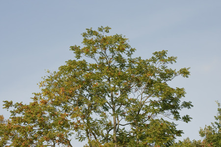 discolored: autumnal tree on a sunny day, many leaves are yellow or reddish