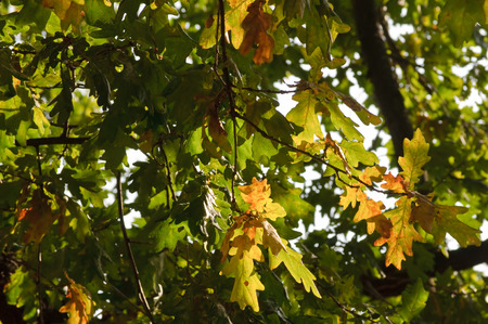 reddish: autumnal tree on a sunny day, many leaves are yellow or reddish