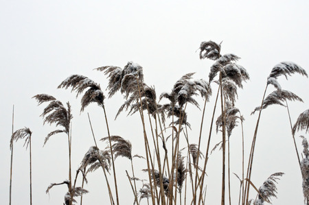 snow covered reed (Phragmites australis)