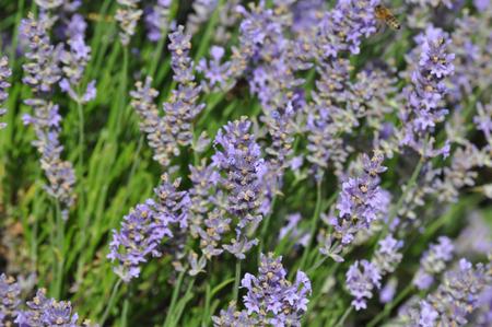 Lavandula angustifolia (lavender) on a sunny summer day