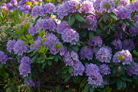 ericaceae: Pink-colored rhododendron blooms Stock Photo