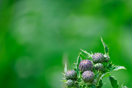 thistles with fresh green background