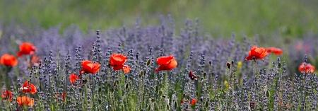 pflanzen: Lavendel und Mohn Stock Photo