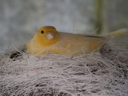 breading: Canary sitting on eggs