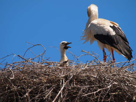 breading: Stork with a baby