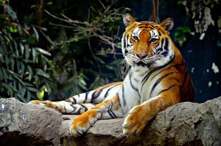 yellow tigers: Tiger  Stock Photo