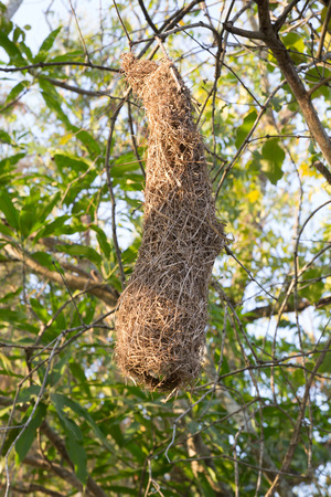 weaver bird nest: birds nest