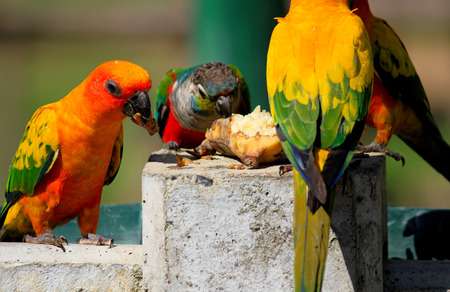 Many colorful parrot enjoy eating food together Stock Photo