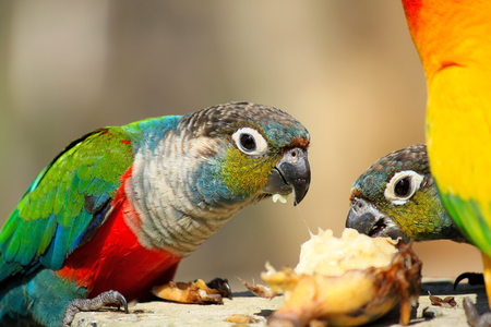 A lot of colorful parrot enjoy eating food