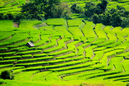 A farmer hut staying on the Rice terraces. Nature landscape at Ban Pa Pong Pieng, Chiang Mai, Thailand