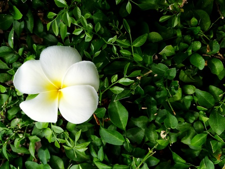 Plumeria flower on gree bushes background with copy space. Beautiful Natural concept.