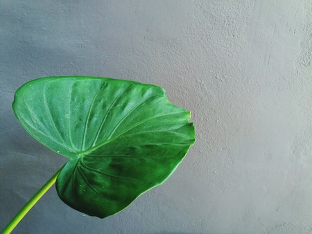 Big green leaf, Ear elephant or Giant alocasia with right copy space isolated on gray wall background - Tropical tree and foliage plant. scientific name of tree: Alocasia macrorrhizos (L.) G.Don Stock Photo