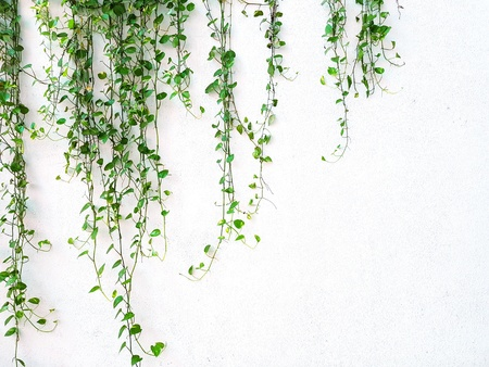 Vine or creeping plant growth on the white wall background with copy space - Nature plant and Background concept