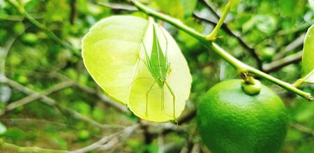 Fresh lime with grasshopper on leaf in fruit farming. Harvest of agriculture and animal or insect