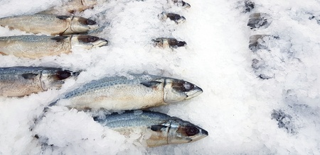 Fresh Short-Bodied, Indian or island  mackerel freezing on ice at fish market - Animal, Food, Cold, Pattern and Freshness Supermarket concept 写真素材