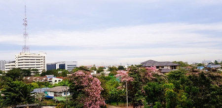 Beautiful Pink trumpet tree blooming with house or village, many building, sky and telecommunication tower with copy space- Beauty of Nature, Plant, Landscape View, Season, Floral and Exterior concept