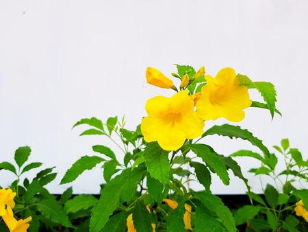 Close up Yellow elder, Trumpetbush, Trumpetflower, Yellow trumpet-flower, Yellow trumpetbush tree with green leaves on white wall - Beauty of Nature, floral concept 版權商用圖片