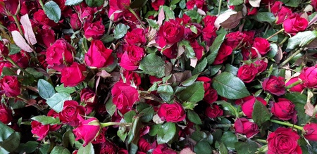 Many beautiful red rose flower for sale on street market - Valentine day and Flora garden concept 版權商用圖片