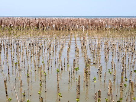Many small green mangroves forest growth in the water with bamboo dam and sea background, People plant these tree for protect sea and wave destroy coast - Protection environment, Green earth concept