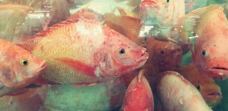 Close up many fresh tilapia swimming in glass cabinet in vintage tone color for sale at seafood market or supermarket. Group of animal. Stock Photo