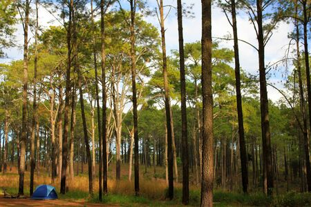 Many pine tree high with blue camping tent and sky background at Phu Hin Rong Kla National Park, Phitsanulok, Thailand. Select focus at tree. Activity of tourism on vacation and weekend. Stock fotó