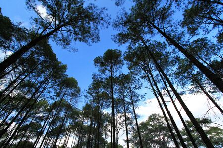Group of high pine tree in deep jungle or forest with clear blue sky and white clouds background at Phu Hin Rong Kla National Park, Phitsanulok, Thailand. Nature wallpaper and Top view of above head