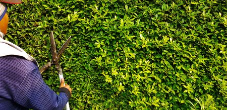 Gardener or worker in blue Long sleeve shirt uniform cutting and decorating branch of tree and green leaves by using branch scissors tool with copy space on right. Reklamní fotografie