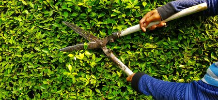 Hand of gardener or worker in blue Long sleeve shirt uniform cutting and decorating branch of tree and green leaves by using branch scissors tool with copy space on left.