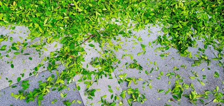 Many green leaves drop or falling on gray or grey ground or tile floor after gardener cutting and decorated tree branches.