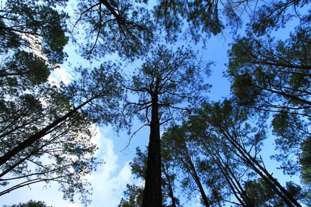 Group of pine tree in deep jungle or forest with clear blue sky and white clouds background at Phu Hin Rong Kla National Park, Phitsanulok, Thailand. Nature wallpaper and Top view of above head Stock fotó
