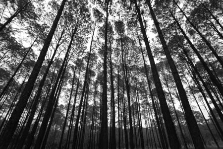 Many high pine tree in deep jungle or forest with sky and white clouds background in black and white tone Phu Hin Rong Kla National Park, Phitsanulok, Thailand. Nature wallpaper