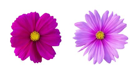 Dark and light purple cosmos flower set isolated on white background. Close up floral blooming and Macro