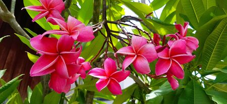 Red plumeria flowers blooming on tree with green leaves background at floral garden. Beauty in nature, Tropical plant and Bouquet Фото со стока