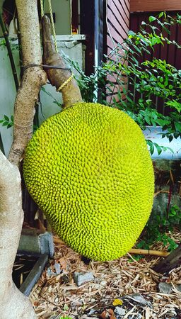 Big jack fruit hanging on tree. Fresh fruit and Harvest of agriculture. Asian food