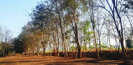 Many teak growing with sunlight and blue sky background in the early morning. Plant and Economic crops