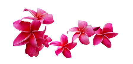 Red plumeria flowers blooming isolated on white background with clipping path or make selection. Beauty in nature, Tropical plant and Bouquet