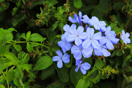 Beautiful blue flower with green leaves background at flora garden with copy space. Beauty in nature and Natural wallpaper.