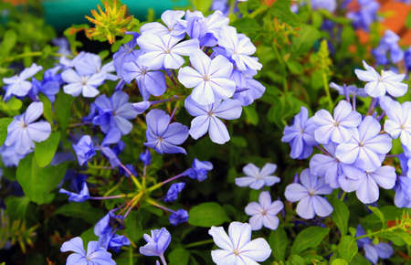 Beautiful blue flowers of botanical blooming with green leaves at floral garden farming. Beauty in nature, Fresh flora or bloom in park